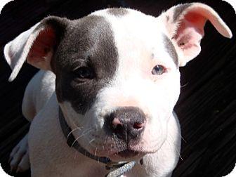 American Bulldog Puppy for adoption in Muskogee, Oklahoma - Parton