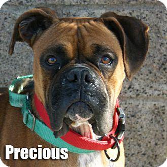 Boxer Dog for adoption in Encino, California - Precious