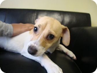 Jack Russell Terrier Mix Dog for adoption in Philadelphia, Pennsylvania - Suzy