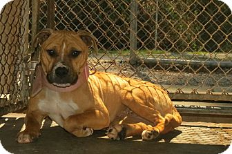 Pit Bull Terrier Mix Dog for adoption in Henderson, North Carolina - MaMa