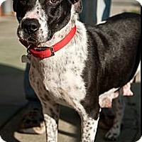 Adopt A Pet :: Dottie - North Hollywood, CA