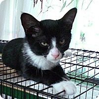 Adopt A Pet :: Boots - Narberth, PA