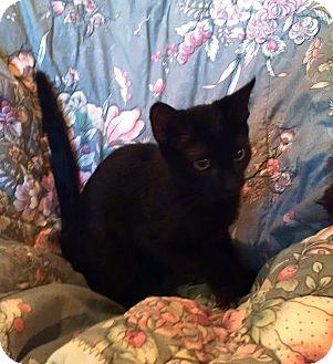 Domestic Shorthair Kitten for adoption in Geneseo, Illinois - Kelly