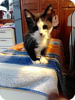 Domestic Mediumhair Kitten for adoption in Newtown, Connecticut - Baby, Baby