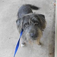 Adopt A Pet :: BLEU - Bryan, TX