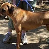 Rhodesian Ridgeback Dog for adoption in Seguin, Texas - Payson