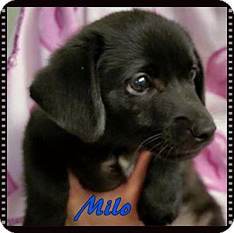 Labrador Retriever Mix Puppy for adoption in Ahoskie, North Carolina - MIlo
