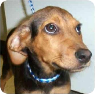 Fox Terrier (Smooth)/Beagle Mix Puppy for adoption in Buffalo, New York - Sherlock