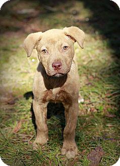 Pit Bull Terrier Mix Puppy for adoption in Marietta, Georgia - Madeline