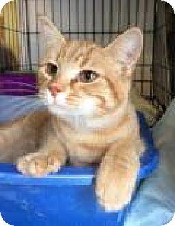Domestic Shorthair Kitten for adoption in Breinigsville, Pennsylvania - Wendy