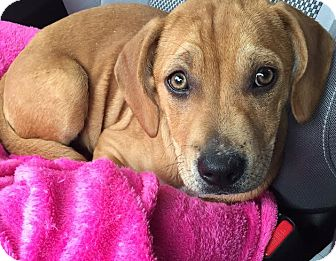 Rhodesian Ridgeback/Labrador Retriever Mix Puppy for adoption in CHICAGO, Illinois - Ripley