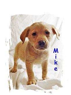 Retriever (Unknown Type) Mix Puppy for adoption in Waterbury, Connecticut - Mike