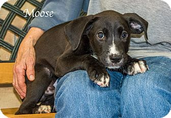 Labrador Retriever Mix Puppy for adoption in Lancaster, Texas - Moose