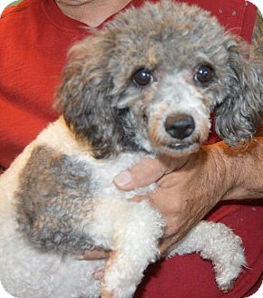 Poodle (Miniature) Dog for adoption in Prole, Iowa - Kayla
