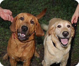 Bloodhound Mix Dog for adoption in Olympia, Washington - Ike