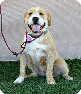 Terrier (Unknown Type, Medium)/Retriever (Unknown Type) Mix Dog for adoption in Palm Springs, California - Bentley