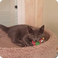 Adopt A Pet :: PPBAWC kitten Gray Female - Manasquan, NJ