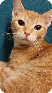 Domestic Shorthair Kitten for adoption in Cannelton, Indiana - Honey
