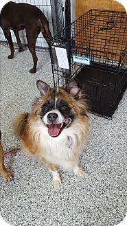 Sheltie, Shetland Sheepdog Mix Dog for adoption in Danville, Indiana - Cleo