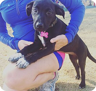 Labrador Retriever/American Pit Bull Terrier Mix Puppy for adoption in Greenfield, Wisconsin - Sox