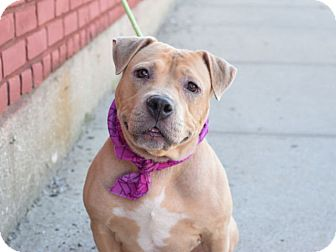 American Pit Bull Terrier Mix Dog for adoption in Prospect, Connecticut - Cora