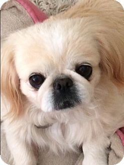 Pekingese Mix Dog for adoption in Simi Valley, California - Taffy-Ann