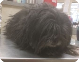 Shih Tzu Mix Dog for adoption in Las Vegas, Nevada - Sparky