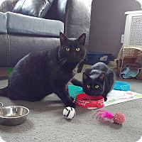 Adopt A Pet :: Mr. Mom - Colmar, PA