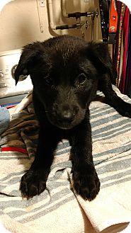 German Shepherd Dog Mix Puppy for adoption in Baltimore, Maryland - December