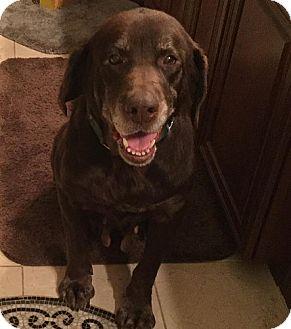 Labrador Retriever Dog for adoption in Purcellville, Virginia - Casey #4