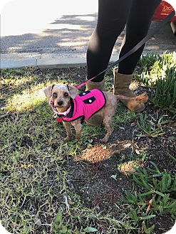 Toy Poodle Dog for adoption in Redondo Beach, California - Peanut-ADOPT Me!