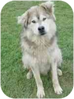 Siberian Husky Mix Dog for adoption in Athabasca, Alberta - CHARLIE