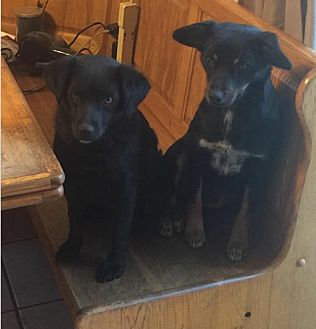 Cocker Spaniel/Manchester Terrier Mix Dog for adoption in Lancaster, Kentucky - Cookie and Sugar