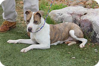 Pit Bull Terrier Mix Dog for adoption in Greensboro, North Carolina - Julia