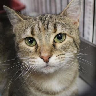 Domestic Shorthair/Domestic Shorthair Mix Cat for adoption in Portage, Wisconsin - Jazz