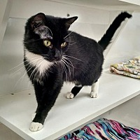 Adopt A Pet :: 1705-1578 Pengwen - Virginia Beach, VA