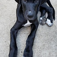 Great Dane Puppy for adoption in Blaine, Minnesota - Ollie