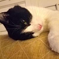 Adopt A Pet :: Shimmer - Winston-Salem, NC
