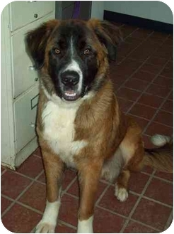 St. Bernard Puppy for adoption in Flint, Michigan - Ox