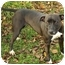 Photo 3 - American Staffordshire Terrier Dog for adoption in Chicago, Illinois - Katie