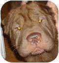 Shar Pei Dog for adoption in Gainesville, Florida - KoKo