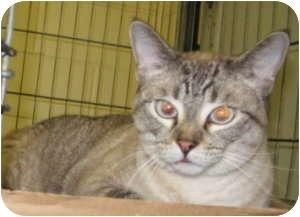 Siamese Cat for adoption in Stillwater, Oklahoma - Mina