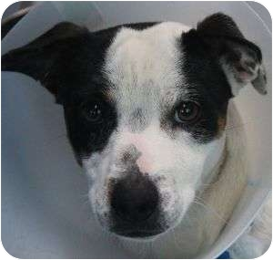 Beagle/Terrier (Unknown Type, Small) Mix Dog for adoption in Las Vegas, Nevada - Barry (Needs Foster)