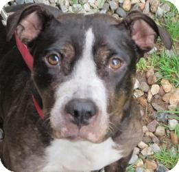 Hound (Unknown Type)/American Staffordshire Terrier Mix Dog for adoption in Bloomfield, Connecticut - Renee