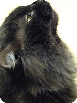 Maine Coon Cat for adoption in Chicago, Illinois - Dr Bombay