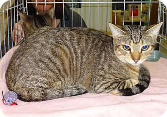 Domestic Shorthair Kitten for adoption in N. Billerica, Massachusetts - Joey
