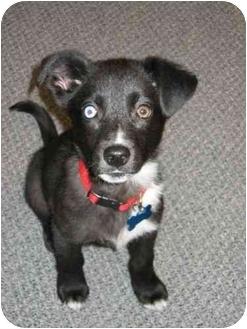 Husky Mix Puppy for adoption in Minneapolis, Minnesota - Raven