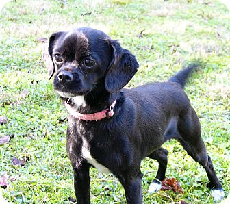 Pug/Beagle Mix Dog for adoption in Mocksville, North Carolina - Darla