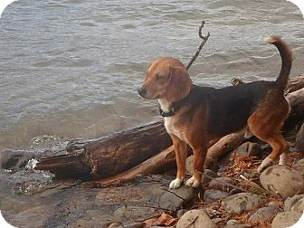 Beagle Dog for adoption in Wappingers, New York - Buster Brown $200