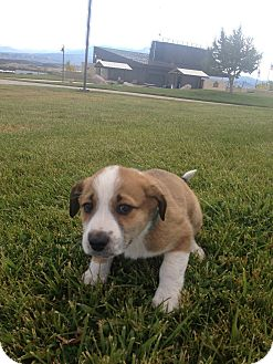 Collie/Shepherd (Unknown Type) Mix Puppy for adoption in Westminster, Colorado - Jeeves